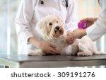 Stock photo sad little maltese dog with broken paw in vet infirmary 309191276