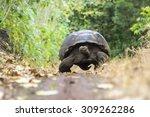 Stock photo giant tortoise in el chato tortoise reserve galapagos islands ecuador 309262286