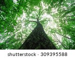 Tall Tree In A Forest