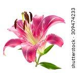 pink lily flower head closeup... | Shutterstock . vector #309474233