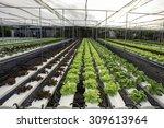 organic vegetable in farms ... | Shutterstock . vector #309613964