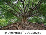 The Banyan Tree.