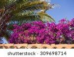 Beautiful Purple Bougainvillea...
