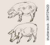 pigs vector  hand draw sketch  | Shutterstock .eps vector #309729620
