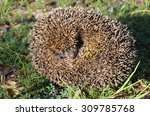 Curled Up Hedgehog With A Cute...