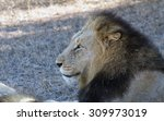 a male lion resting under a... | Shutterstock . vector #309973019