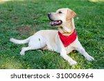 a labrador retriever in the park | Shutterstock . vector #310006964