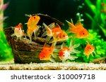 Goldfish In Aquarium With Gree...