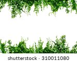 green ivy isolated on a white... | Shutterstock . vector #310011080