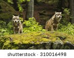 Two Wolves On A Rocky Plateau...