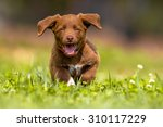 Stock photo playful brown puppy enjoying the lovely weather while running through grass in a backyard lawn 310117229