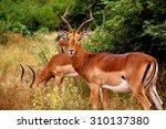 Brown Impalas  Aepyceros...