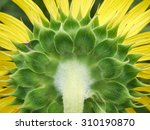 The Flower Of Sunflower In The...
