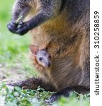 Wallaby With A Young Joey In...