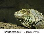 Small photo of Closeup of a bearded dragon, Pogona vitticeps, member of the agamid lizards.