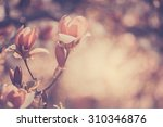 flowering magnolia in a spring... | Shutterstock . vector #310346876