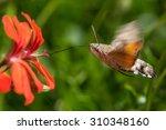 colibri moth feeding while...   Shutterstock . vector #310348160