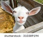 funny goat on farm funny goat... | Shutterstock . vector #310389194