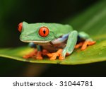 Red Eyed Green Tree Frog  ...