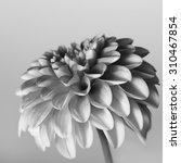 flower  zinnia   Shutterstock . vector #310467854