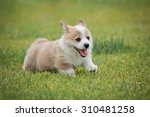Cute Little Puppy Running On...