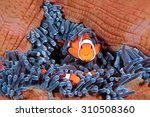 Small photo of Clown fish family, Amphiprion ocellaris, hiding in host sea anemone Heteractis magnifica