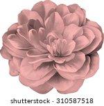 red rose camellia flower... | Shutterstock .eps vector #310587518