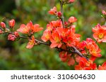 Rhododendron Ponticum Is A...