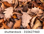 Fallen Oak Leaves. Autumn.