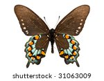 Adult Of Pipevine Swallowtail ...
