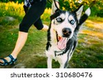 Stock photo young happy husky eskimo dog runs next to mistress on fresh green grass outdoor summer or spring 310680476