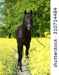 Small photo of Amazing black dutch warmblood in colza field