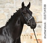 Small photo of Beautiful black dutch warmblood with bridle in front of stone wall