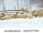 Sheep In A Cold Winter