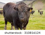 Bulls In A Paddock  Gisborne ...