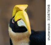 Rare Hornbill  Thailand  Grea...
