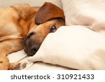 Stock photo cute dog resting on the sofa enhanced colors 310921433