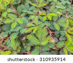 Sensitive Green Plant Mimosa...