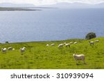 Herd Of Sheep In The Green...