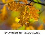 Fall Autumn Yellow Dry Oak...