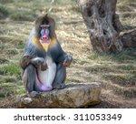Colorful Male Mandrill Monkey...