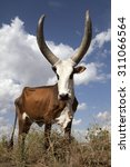cow | Shutterstock . vector #311066564