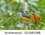 colorful bird orange bellied... | Shutterstock . vector #311081588