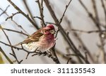 Purple Finch Eating Seeds In A...