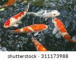 Fish Carp Fancy In Pond ...