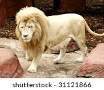 handsome white male lion - stock photo
