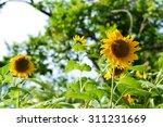 sunflower in the garden on... | Shutterstock . vector #311231669