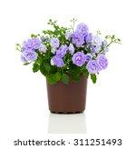 blue campanula terry flowers ... | Shutterstock . vector #311251493