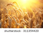 Golden Wheat Field. Ears Of...
