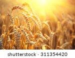 Golden Wheat Field. Ears Of...